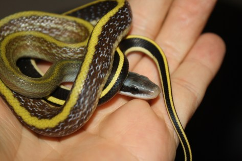 A neonate Ridley's Beauty Snake (Orthriophis taeniurus ridleyi) by Darren Hamill Reptiles