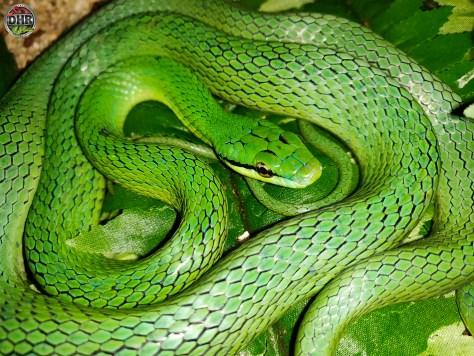 Adult female Rein Snake (Gonyosoma frenatum)