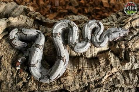 Pictures of Bolivian Boas (Boa c. amarali)