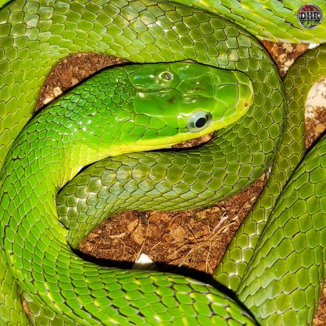 nice closeup of a Green Bush Rat Snake (Gonyosoma prasinum).