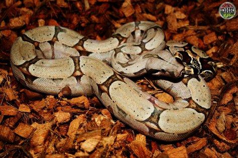Throwback Thursday! a Bolivian Boa (Boa constrictor amarali)