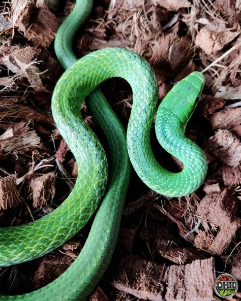We love how these Green Bush Rat Snakes (Gonyosoma prasinum)
