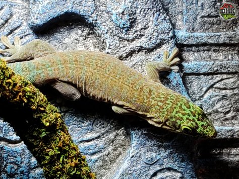 The Standings Day Gecko