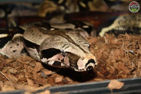 Suriname Red-tailed Boa (Boa constrictor)