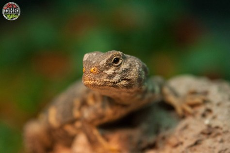 How about those Uromastyx!