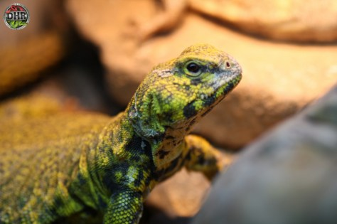 Our adult male Nigerian Uromastyx (Uromastyx geyri) patiently waiting for a treat.