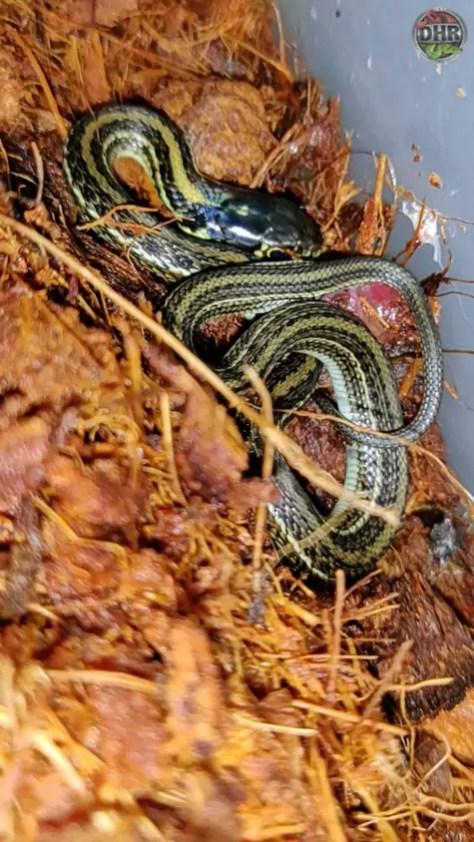 Lake Chapala Mexican Garter Snake babies