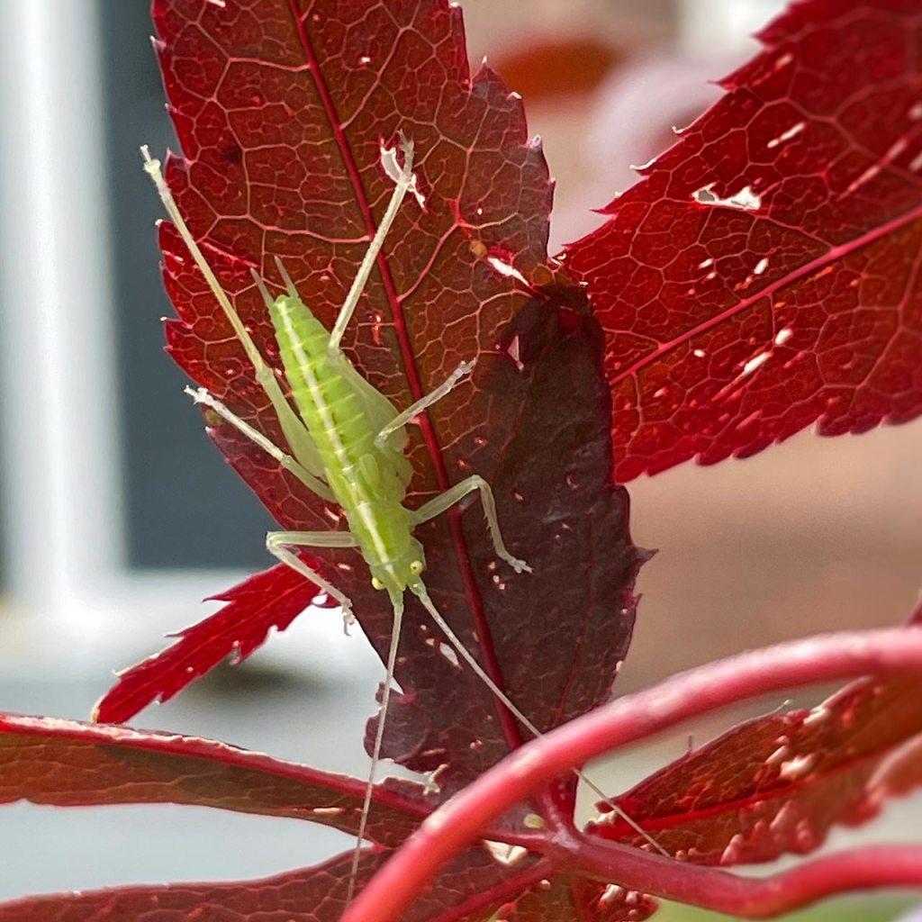 Green bug on a scarlet leaf two