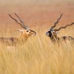 The blakbuck move by Santhosh Krishnamurthy