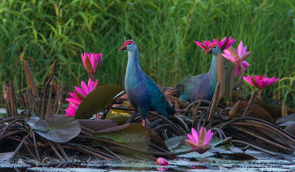 Purple-Swamphen-Andaman