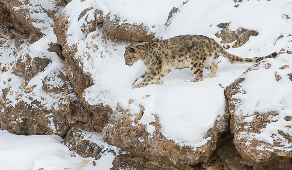 Snow-Leopard-3