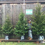 Privacy Screening Buy Privacy Trees Darts Tree Farm Long Island Dart S Tree Farm