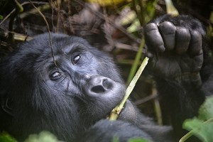 Mountain gorilla in Bwindi Impenetrable National Park, Uganda, Credit: Rod Waddington via https://creativecommons.org/licenses/by-sa/2.0