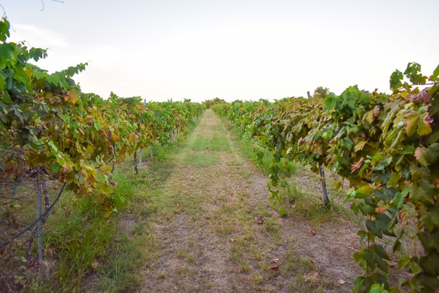 A night at Messina Hof Estate and Winery in Bryan, Texas full of grape stomping, wine tasting, and Texas history! Plan your next trip with this post by Dash of Jazz