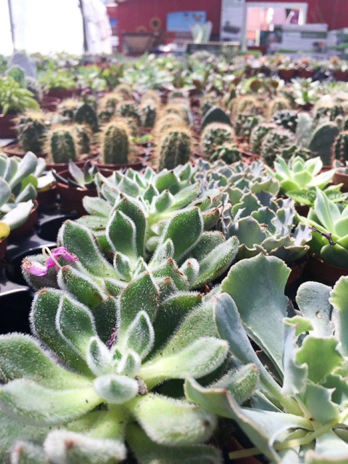 tables of succulents and cacti