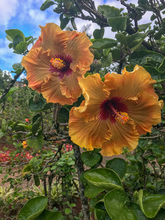 hibiscus in Dole Plantation garden on Oahu's North Shore