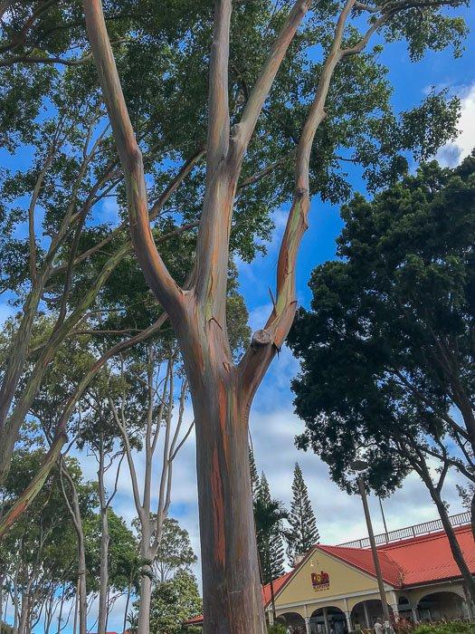 rainbow eucalyptus tree at Dole Plantation, Oahu