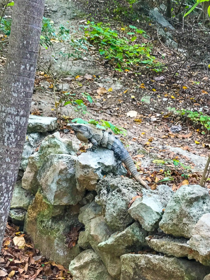 iguana on rock at Tulum Mayan Ruins