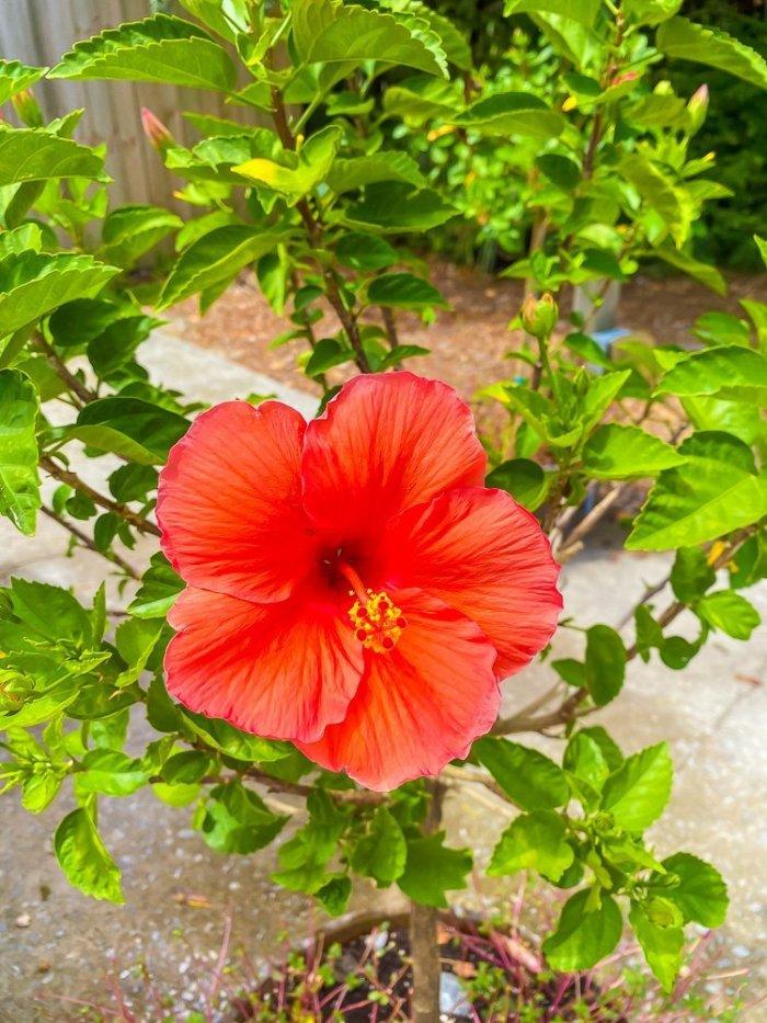 hibiscus flower in bush
