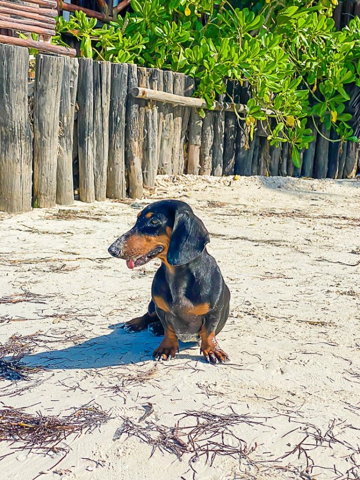 black and tan mini dachshund on beach