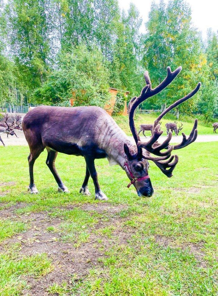 adult reindeer at Running Reindeer Ranch in Fairbanks, Alaska.