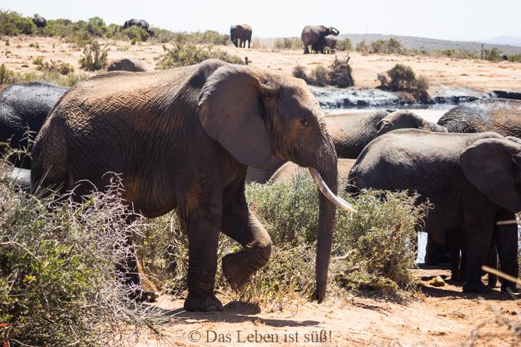 Addo Elephant Park (224 von 307)