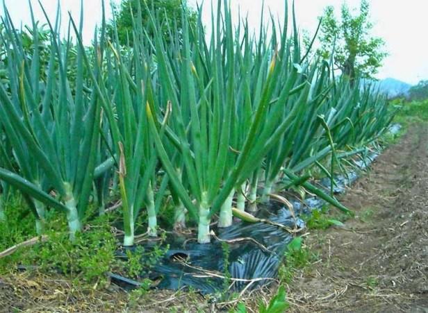 cara menanam bawang merah polybag