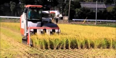 Cara panen padi di jepang