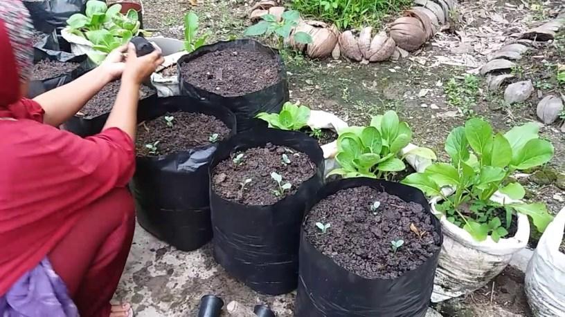 cara menanam kubis di pot