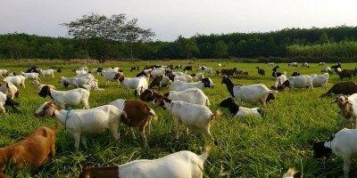 usaha pakan ternak kambing