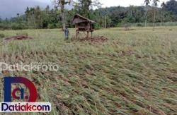 20 Hektare Sawah di Pasaman Barat Sawah Gagal Panen
