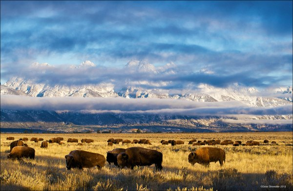 Bison and Teton Range Grand Teton National Park Wyoming