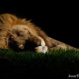 Lion_