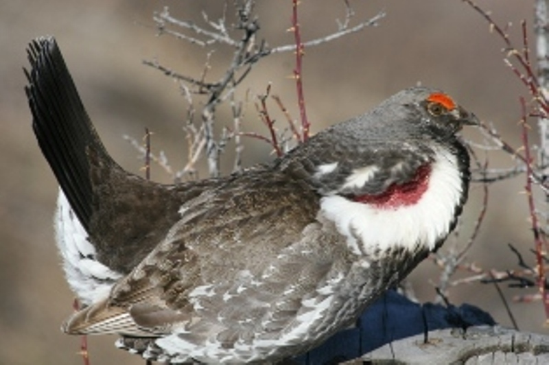 A Blue Grouse Displaying his white ruff: Red air sac underneath
