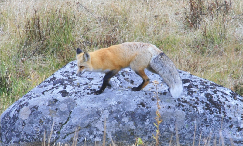 Vulpes following a rodent scent trail