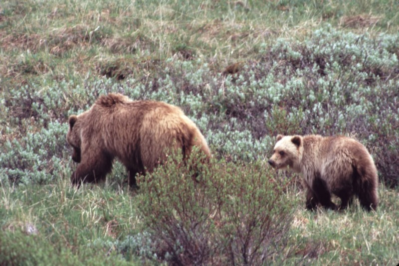 "Grizzlies ""making the rounds"""