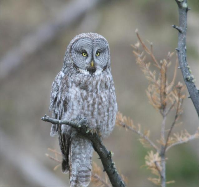 A Great Gray Owl: An irruptive species