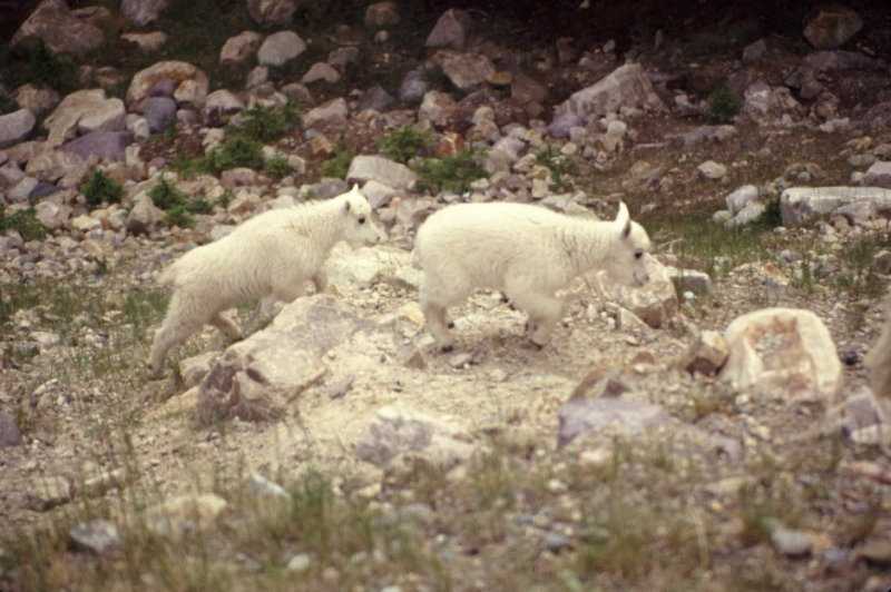 Adorable baby Mountain Goats romp under Mom's watchful care