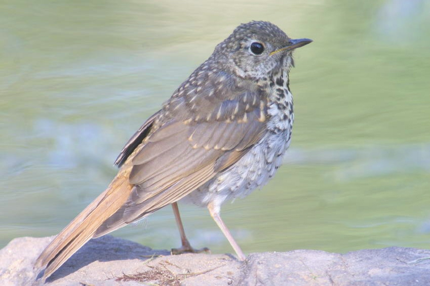 Hermit Thrush top – Swainson's Thrush bottom