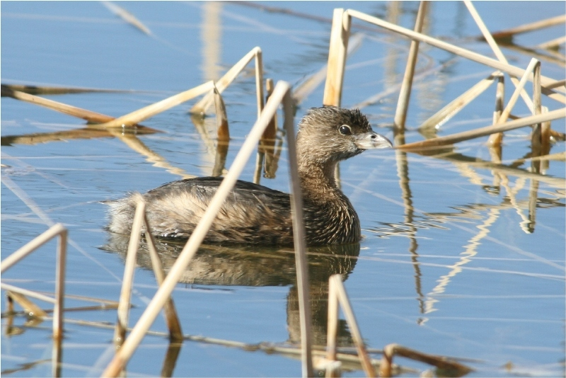 Pied-Billed Grebe At home amid the marsh sedges