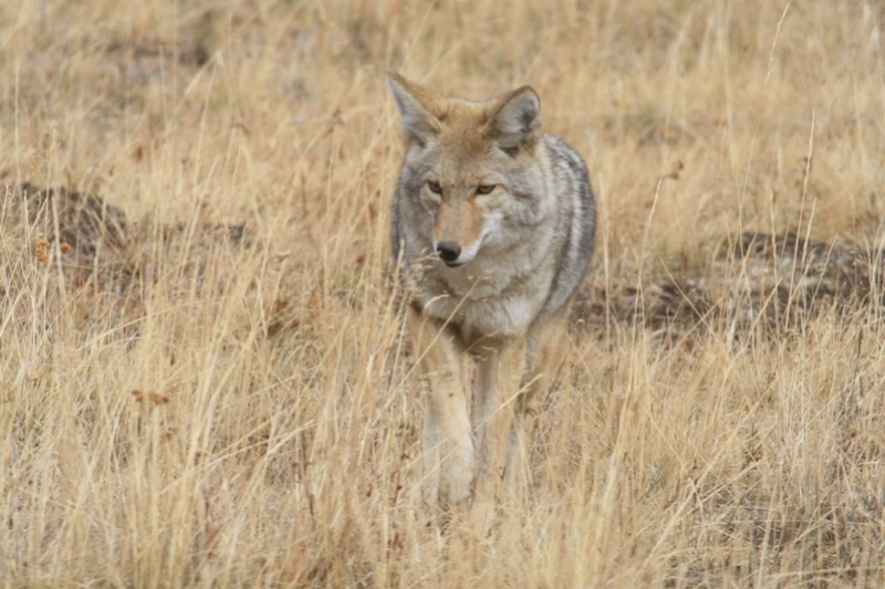 The adaptable Coyote – A major predator on rodents