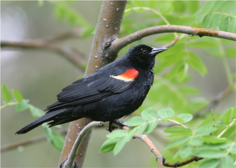 Red wings on display on a Red-Winged Blackbird