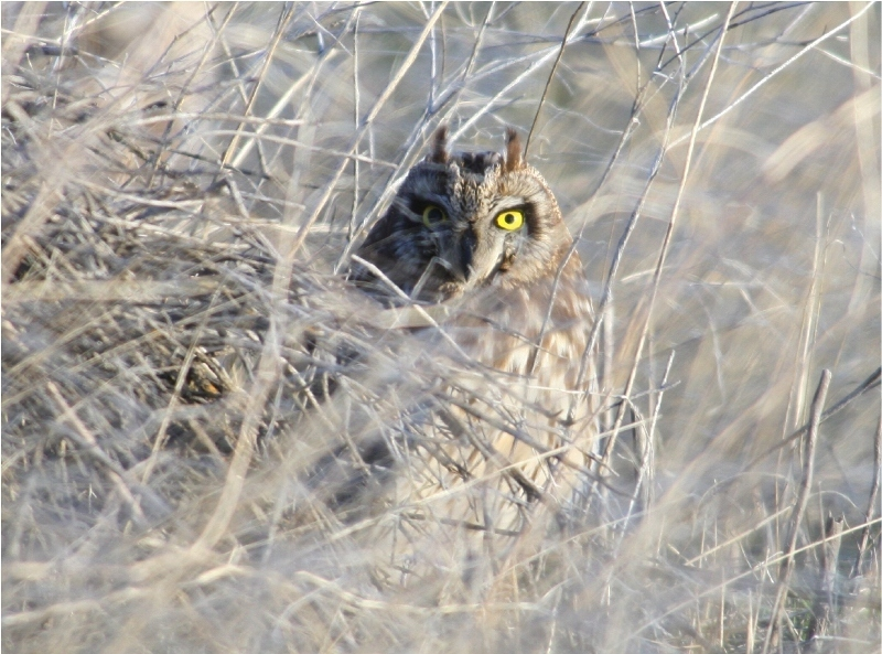 A Short-Eared Owl keeps me at a distance with his incredible vision