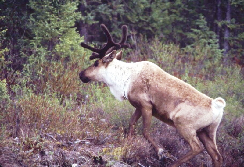 "Woodland Caribou ""High-tailing it"" into familiar forested cover"