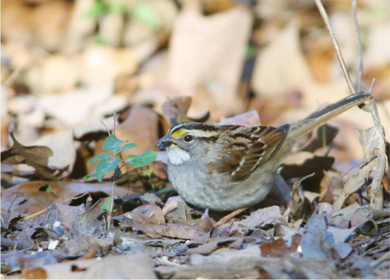 A White-Throated Sparrow in the leaf litter