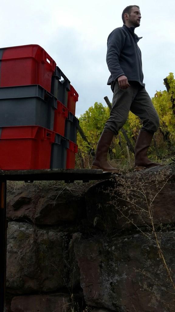 Vigneron Antoine Krydenweiss harvesting Riesling grapes in Grand Cru Kastelberg in Andlau, Alsace