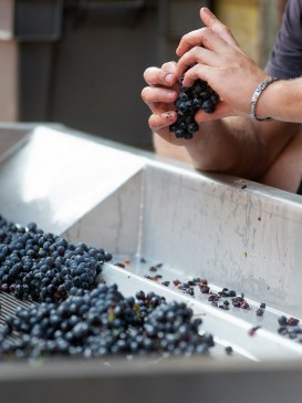 Coulisses des Vendanges 2014. Pinot Noir. Domaine Valentin Zusslin. Credit Photo : Domaine Valentin Zusslin/Gregory Pigot