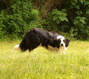 Couldn't bring myself to include a picture of nasal leeches so here's a nice shot of a NZ Sheepdog instead