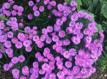 "Aster ""Little Pink Beauty"""