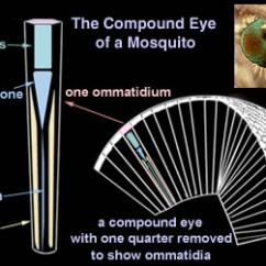 Dragonflies Eye Diagram Toilet Vent Pipe Compound Structure Of A